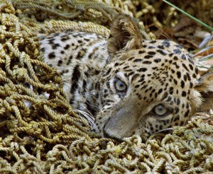 Leopard in net